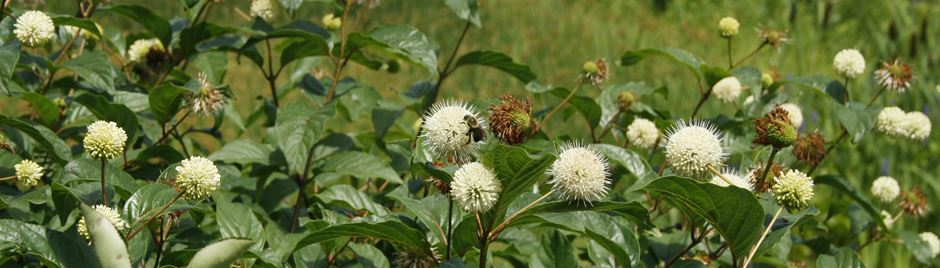 White, globe shaped buttonbush flowers with a large bumble bee