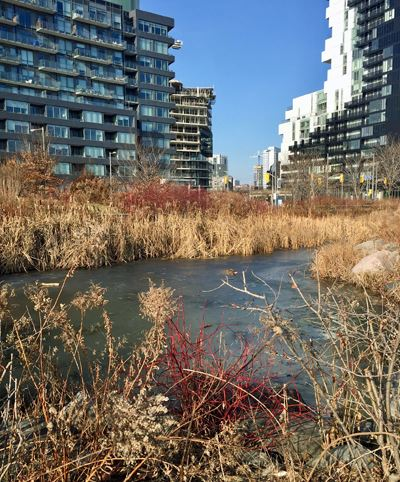 frozen pond surrounded by tall, dry grasses and red twig dogwood. Apartment buildings in the background