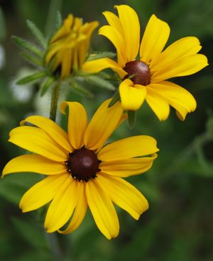 two black-eyed-susan flowers with a flower bud