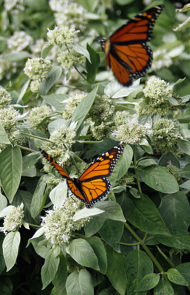 Monarch Butterflies on Mountain Mint